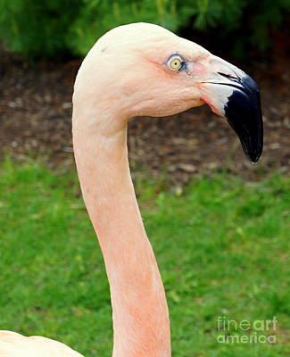Photograph - Pink Flamingo by Rachel Munoz Striggow
