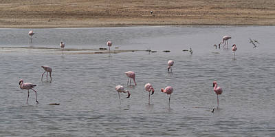 Flock Of Bird Photograph - Pink Flamingos In A Pond, Mowe Bay by Panoramic Images