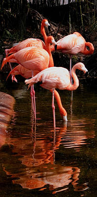 Photograph - Pink Flamingos Resting In The Water by Weston Westmoreland