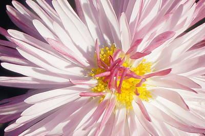 Pink Flower 4 Art Print by Brian Jones