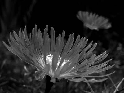 Photograph - Pink Flower-bw by Fabio Giannini