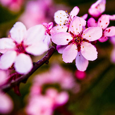 Art Print featuring the photograph Pink Flower by Chris McKenna