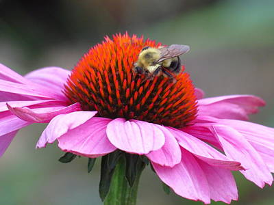Photograph - Pink Flower With A Bee by Teresa Cox