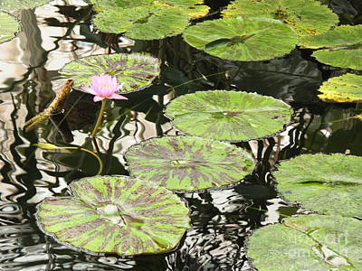 Photograph - One Pink Water Lily With Lily Pads by Carol Groenen