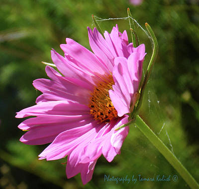 Traditional Bells Rights Managed Images - Pink Flower with Spider Web Royalty-Free Image by Tamara Kulish
