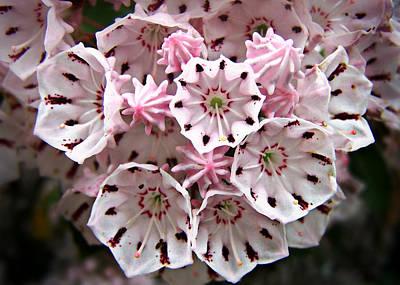Pink Flowered Mountain Laurel Art Print