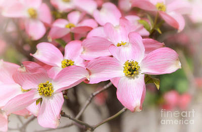 Photograph - Pink Flowering Dogwood by Charline Xia