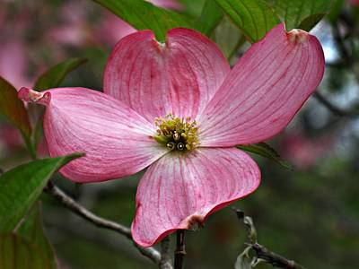 Pink Flowering Dogwood Art Print by William Tanneberger