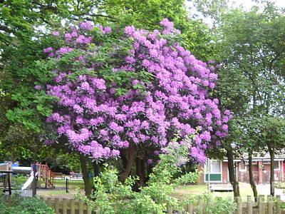 Pink-flowers-tree Original