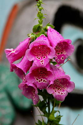 Foxglove Flowers Photograph - Pink Foxglove by Karon Melillo DeVega