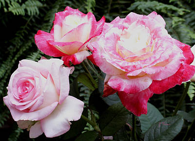 Art Print featuring the photograph Pink Garden Roses by James C Thomas