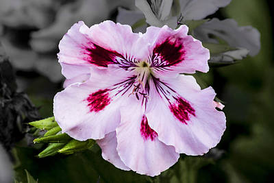 Art Print featuring the digital art Pink Geranium by Photographic Art by Russel Ray Photos