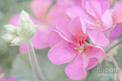 Pink Geraniums Photograph - Pink Geraniums by Betty LaRue