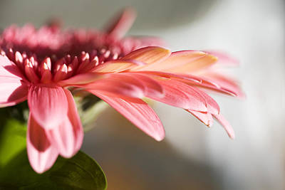 Photograph - Pink Gerber Daisy by Marilyn Hunt
