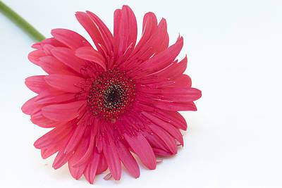 Photograph - Pink Gerbera Daisy  by Patrice Zinck