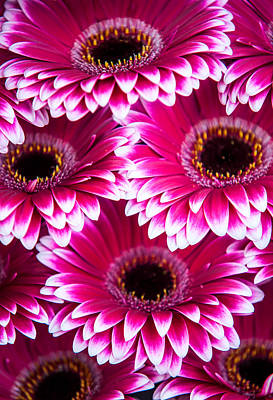 Photograph - Pink Gerbera 1. Amsterdam Flower Market by Jenny Rainbow