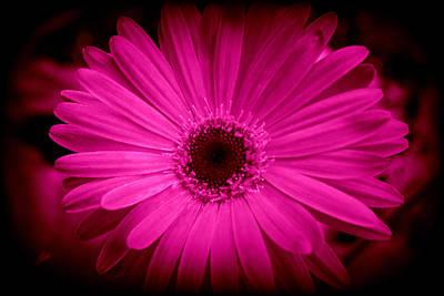 Photograph - Pink Gerbera 1 by Kay Novy