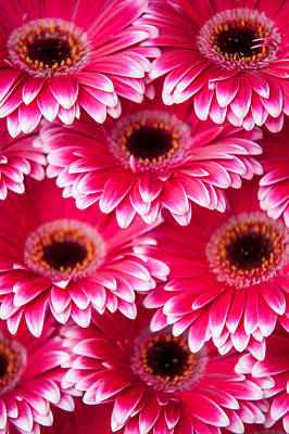 Photograph - Pink Gerbera 2. Amsterdam Flower Market by Jenny Rainbow