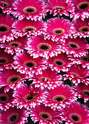 Photograph - Pink Gerbera. Amsterdam Flower Market by Jenny Rainbow