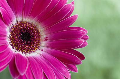 Photograph - Pink Gerbera by Christi Kraft