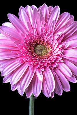 Gerbera Photograph - Pink Gerbera Daisy Close Up by Garry Gay
