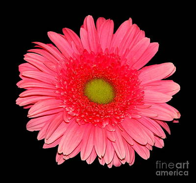 Bloom Photograph - Pink Gerbera Daisy by Rose Santuci-Sofranko