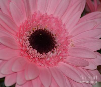 Photograph - Pink Gerbera Floral by P S