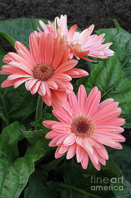 Photograph - Pink Gerbera by Frank Townsley