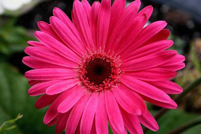 Photograph - Pink Gerbera by Kay Novy