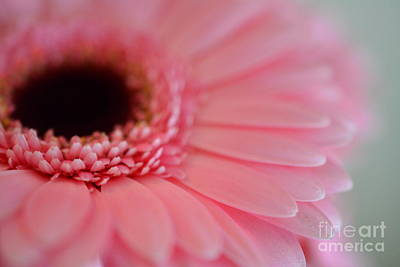 Photograph - Pink Gerbera by P S