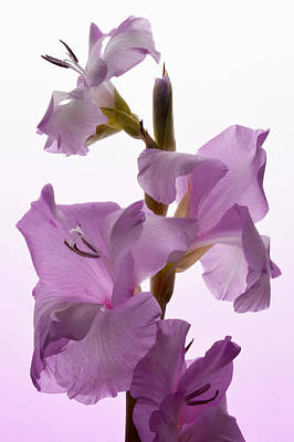 Pink Gladiolus. Art Print by Terence Davis