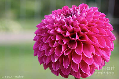 Photograph - Pink Globe Dahlia by Susan Herber