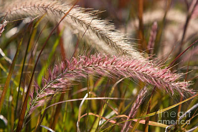 Photograph - Pink Grasses 2 by Chris Scroggins