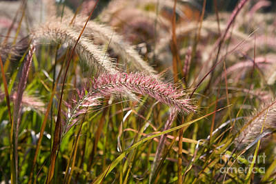 Photograph - Pink Grasses by Chris Scroggins
