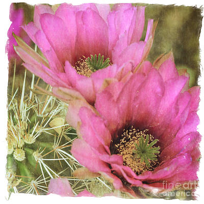 Photograph - Pink Hedgehog Cactus Flower by Tamara Becker