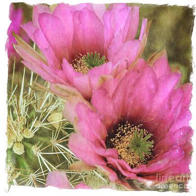 Photograph - Pink Hedgehog Cactus Flower by Tamara Becker