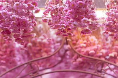 Photograph - Pink Helichrysum. Amsterdam Flower Market by Jenny Rainbow