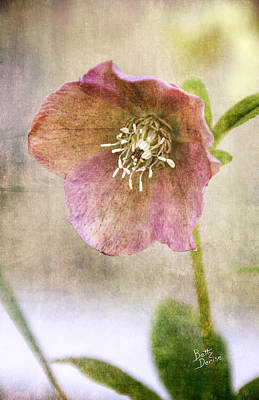 Art Print featuring the photograph Pink Hellebore by Betty Denise