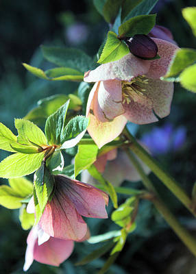 Photograph - Pink Hellebore by Gerry Bates