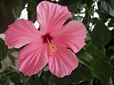 Digital Art - Pink Hibiscus-2 by Doug Morgan