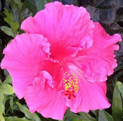 Art Print featuring the photograph Pink Hibiscus by Alohi Fujimoto