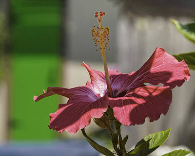 Photograph - Pink Hibiscus And Green Door by Marianne Campolongo