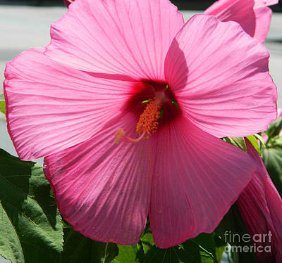 Roaring Red - Pink Hibiscus by Andrea Anderegg