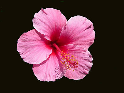 Photograph - Pink Hibiscus Blossom by John Orsbun