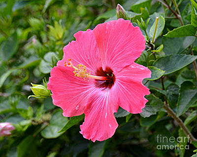 Photograph - Pink Hibiscus by Carol  Bradley