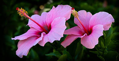 Photograph - Pink Hibiscus II by Athena Mckinzie