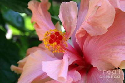 Photograph - Pink Hibiscus by Martha Burton