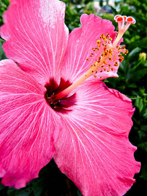 Pink Hibiscus Art Print by Pete Trenholm