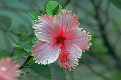 Photograph - Pink Hibiscus by Tony Murtagh