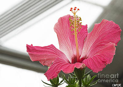 Photograph - Pink Hibiscus by Wanda Krack